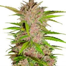 Fast Buds - Fastberry Automatic (5seeds/pack)