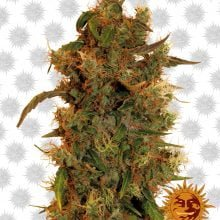 Barney's Farm 8 Ball Kush 3 seeds-pack