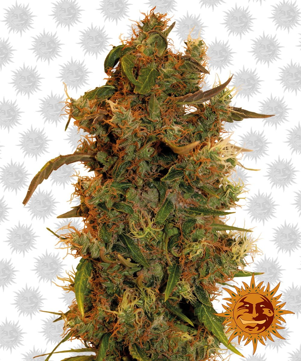 Barney's Farm 8 Ball Kush (5 seeds pack)
