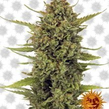 Barney's Farm Acapulco Gold (3 seeds pack)