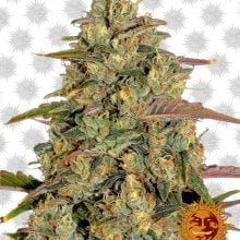 Barney's Farm Amnesia Lemon (3 seeds pack)