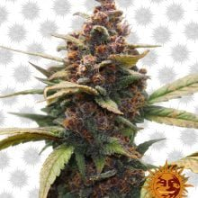 Barney's Farm Ayahuasca Purple (5 seeds pack)