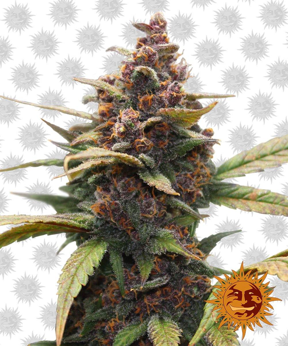 Barney's Farm Ayahuasca Purple (5 seeds pack)