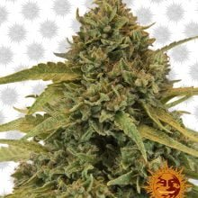 Barney's Farm Bad Azz Kush (5 seeds pack)