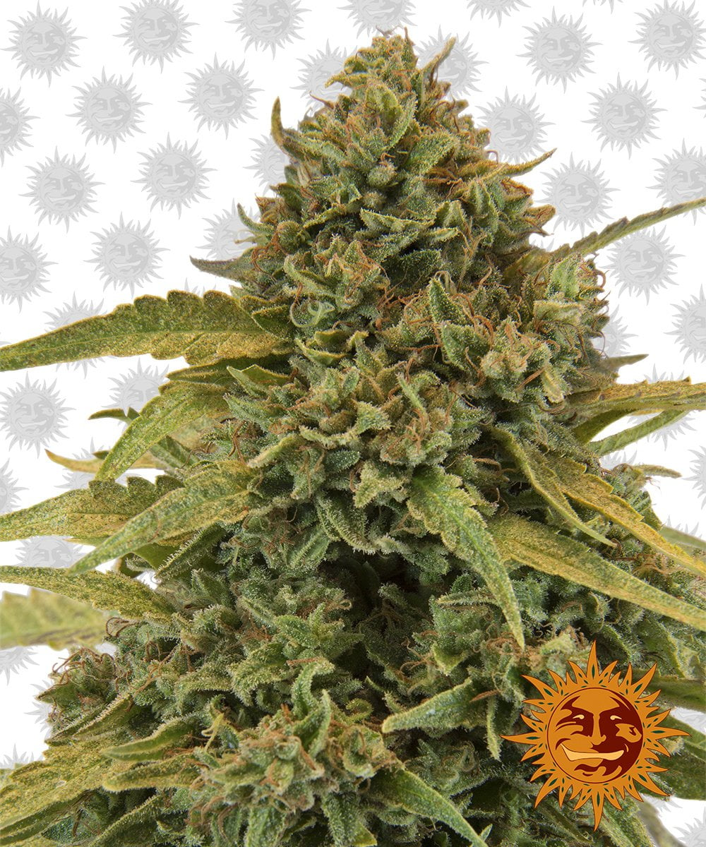 Barney's Farm Bad Azz Kush (3 seeds pack)