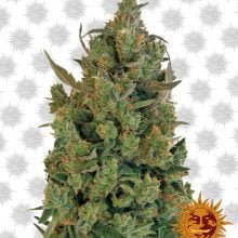 Barney's Farm Blue Cheese (5 seeds pack)