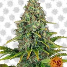 Barney's Farm Blue Cheese Auto (3 seeds pack)