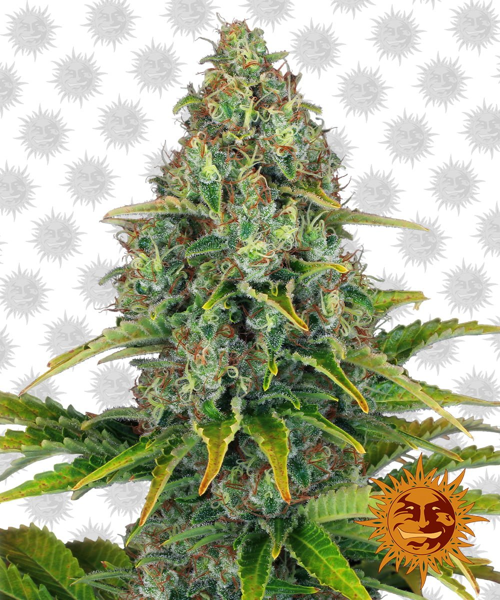 Barney's Farm Blue Cheese Auto (5 seeds pack)