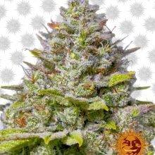 Barney's Farm Blue Gelato (5 seeds pack)