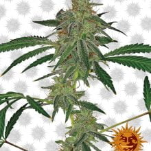 Barney's Farm Blue Mammoth Auto (3 seeds pack)