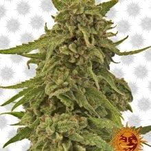 Barney's Farm CBD Critical Cure (3 seeds pack)