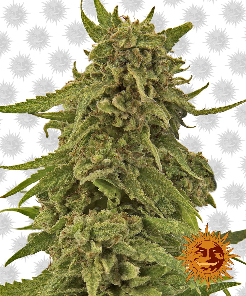Barney's Farm CBD Critical Cure (3 seeds pack)