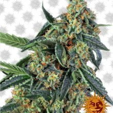 Barney's Farm Cookies Kush (3 seeds pack)