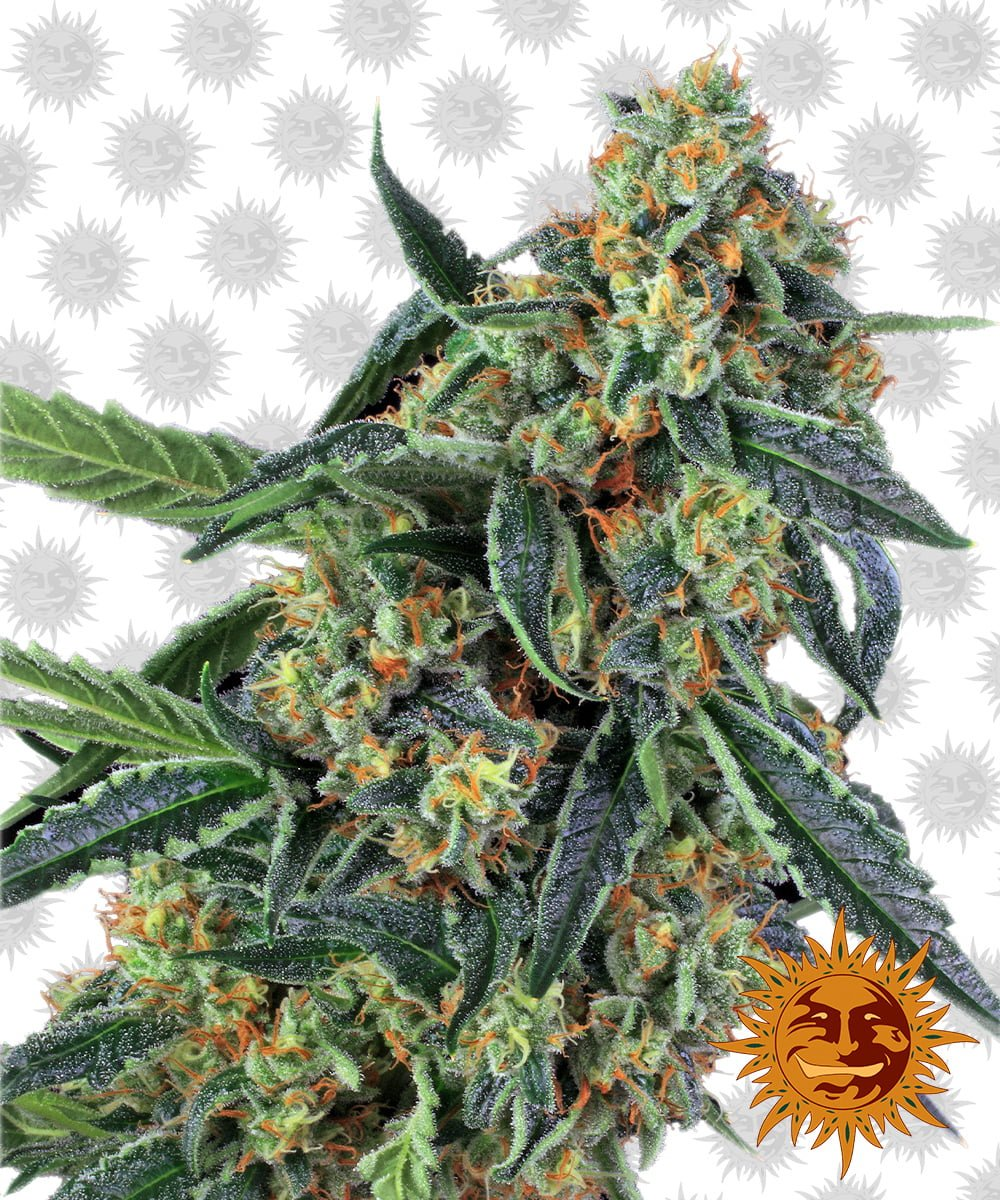 Barney's Farm Cookies Kush (5 seeds pack)
