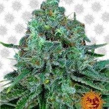 Barney's Farm Critical Kush (5 seeds pack)