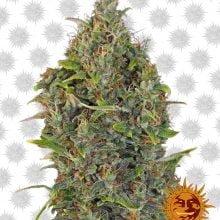 Barney's Farm Critical Kush Auto (5 seeds pack)