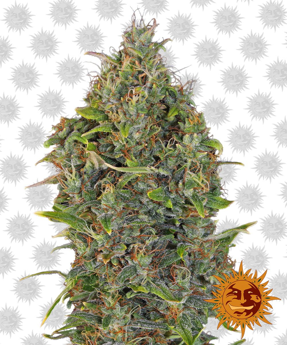 Barney's Farm Critical Kush Auto (3 seeds pack)