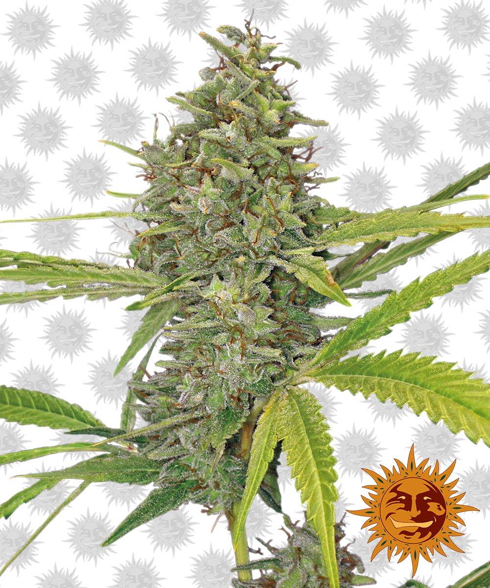 Barney's Farm G13 Haze (5 seeds pack)