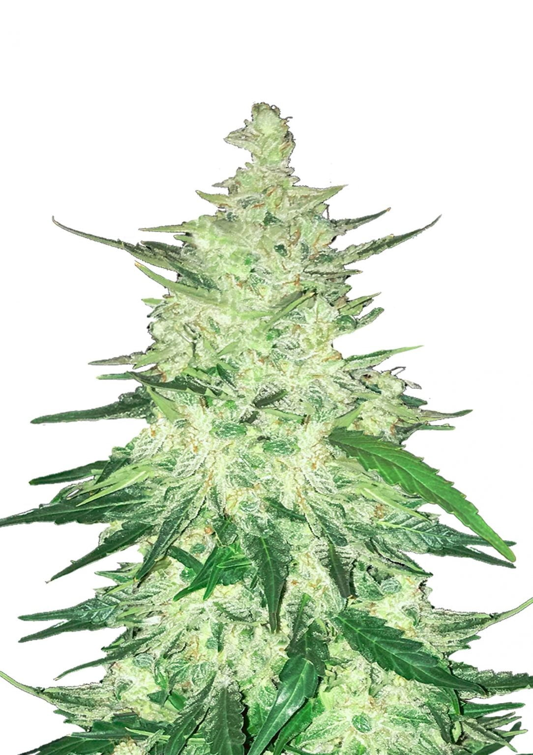 Fast Buds - CBD Crack Automatic (5seeds/pack)