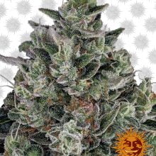 Barney's Farm Glookies (3 seeds pack)