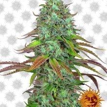 Barney's Farm LSD Automatic (5 seeds pack)