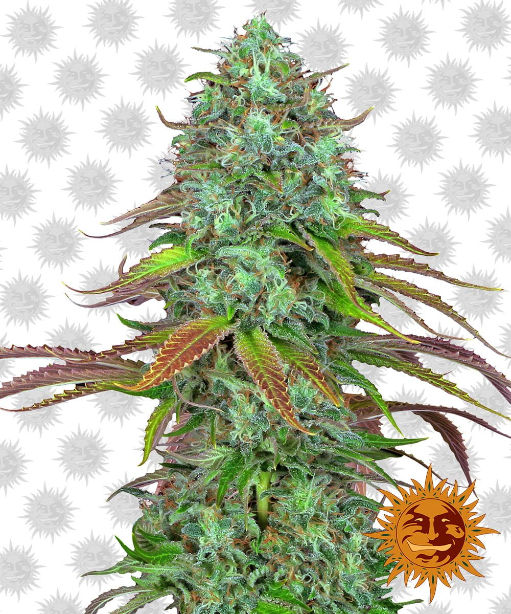 Barney's Farm LSD Automatic (5 seeds pack)