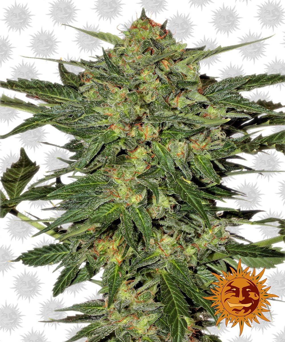 Barney's Farm LSD (5 seeds pack)