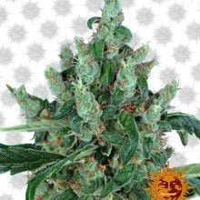 Barney's Farm Laughing Buddha (3 seeds pack)