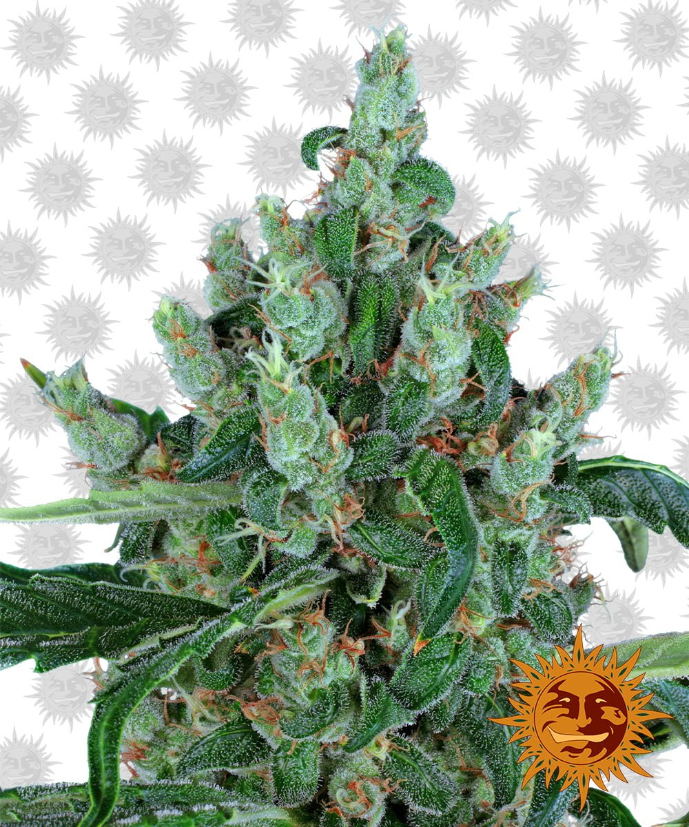 Barney's Farm Laughing Buddha (5 seeds pack)