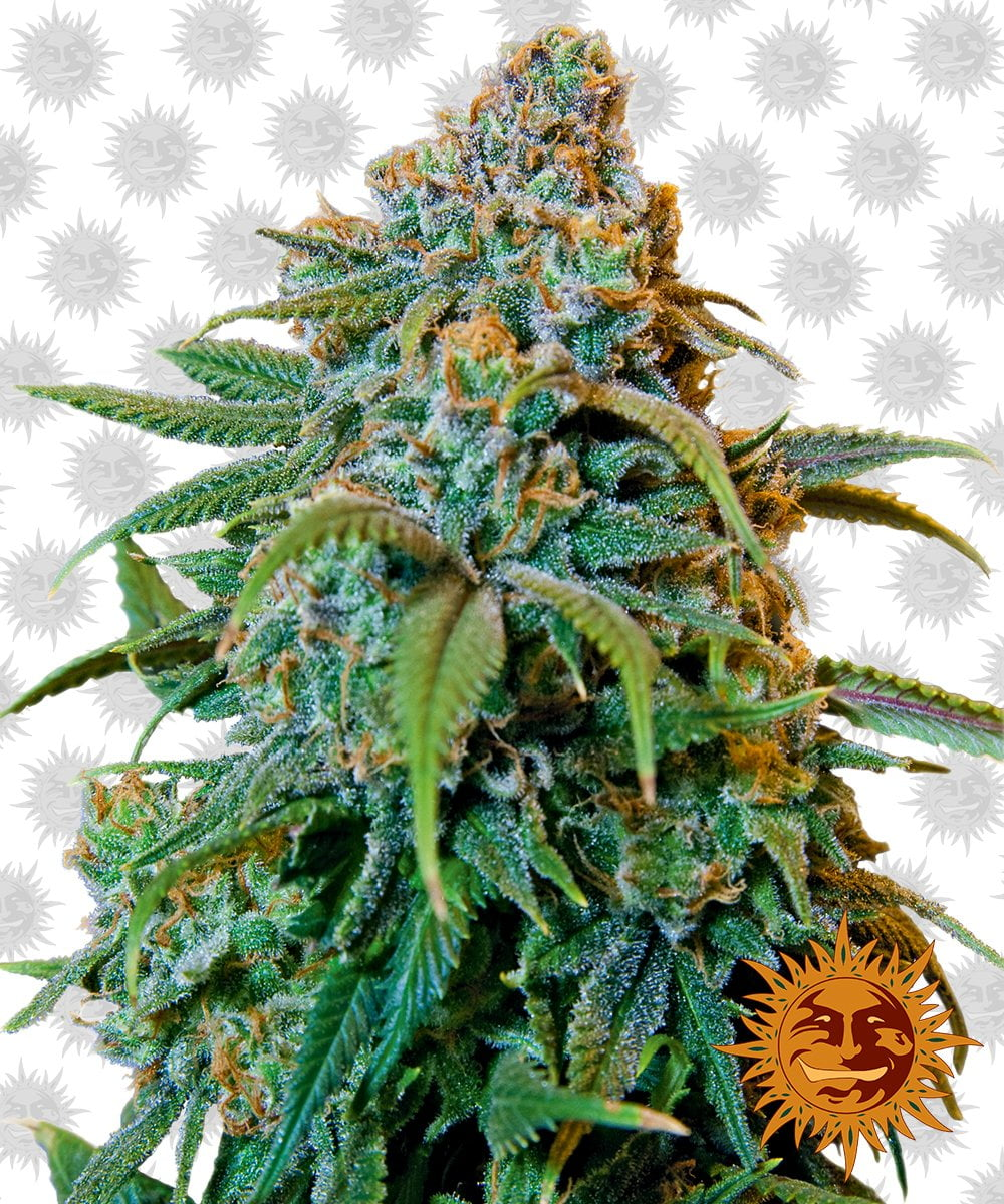 Barney's Farm Liberty Haze (3 seeds pack)