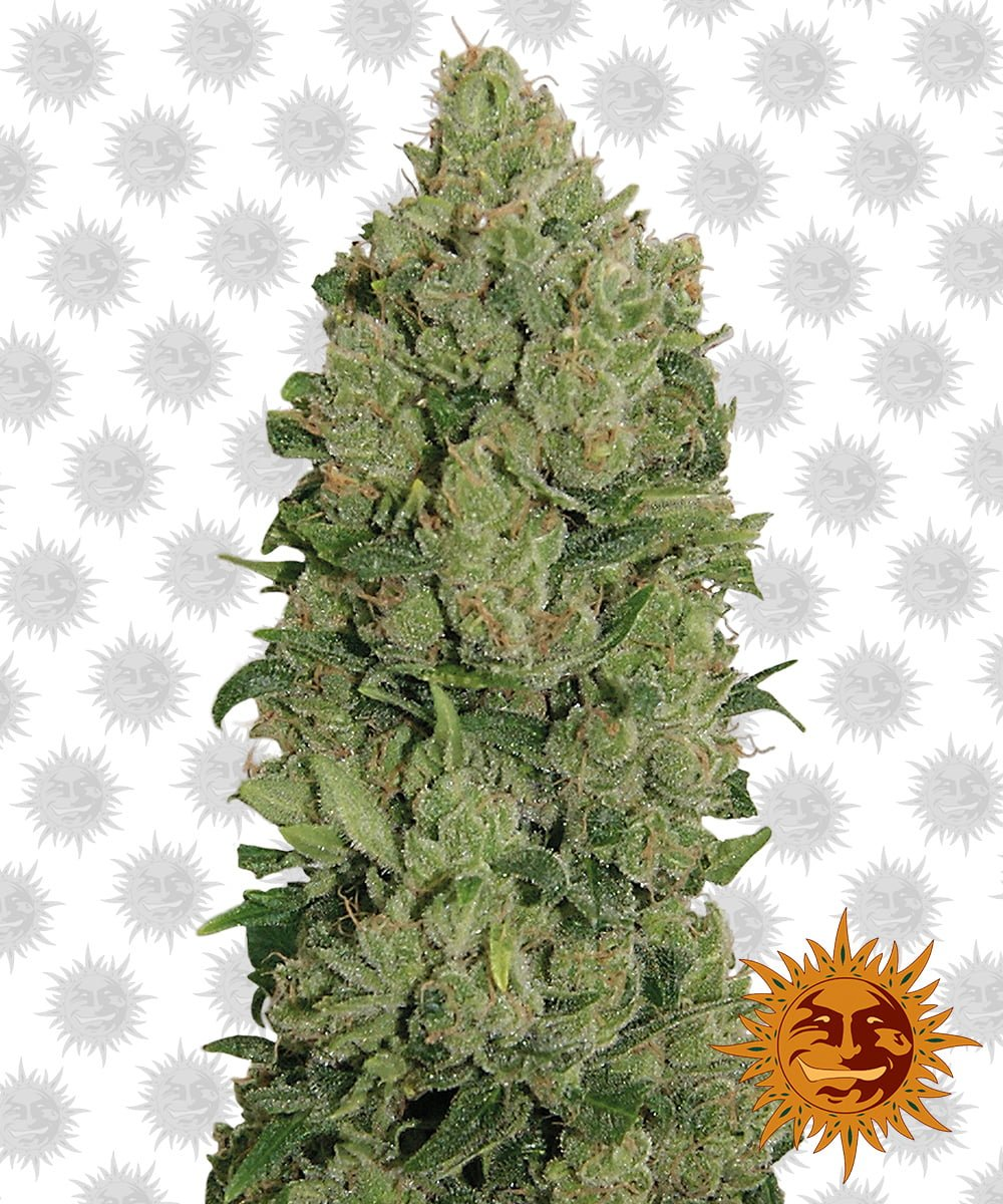 Barney's Farm NYC Diesel Auto (5 seeds pack)