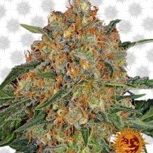 Barney's Farm Orange Sherbert (3 seeds pack)