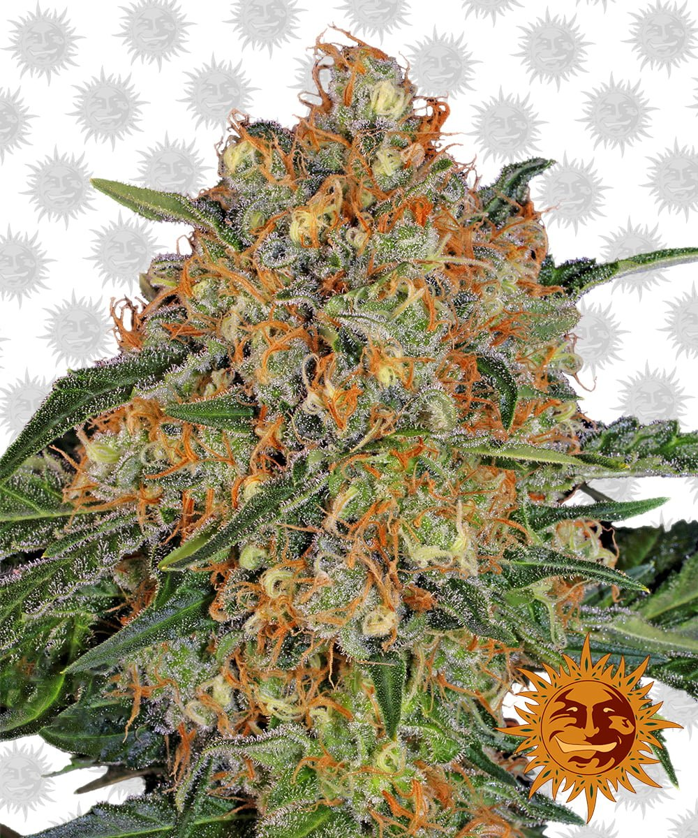 Barney's Farm Orange Sherbert (5 seeds pack)