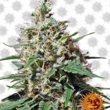 Barney's Farm Peppermint Kush (3 seeds pack)