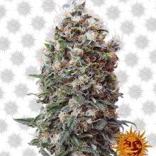 Barney's Farm Phatt Fruity (5 seeds pack)