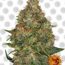 Barney's Farm Pineapple Express Auto (3 seeds pack)