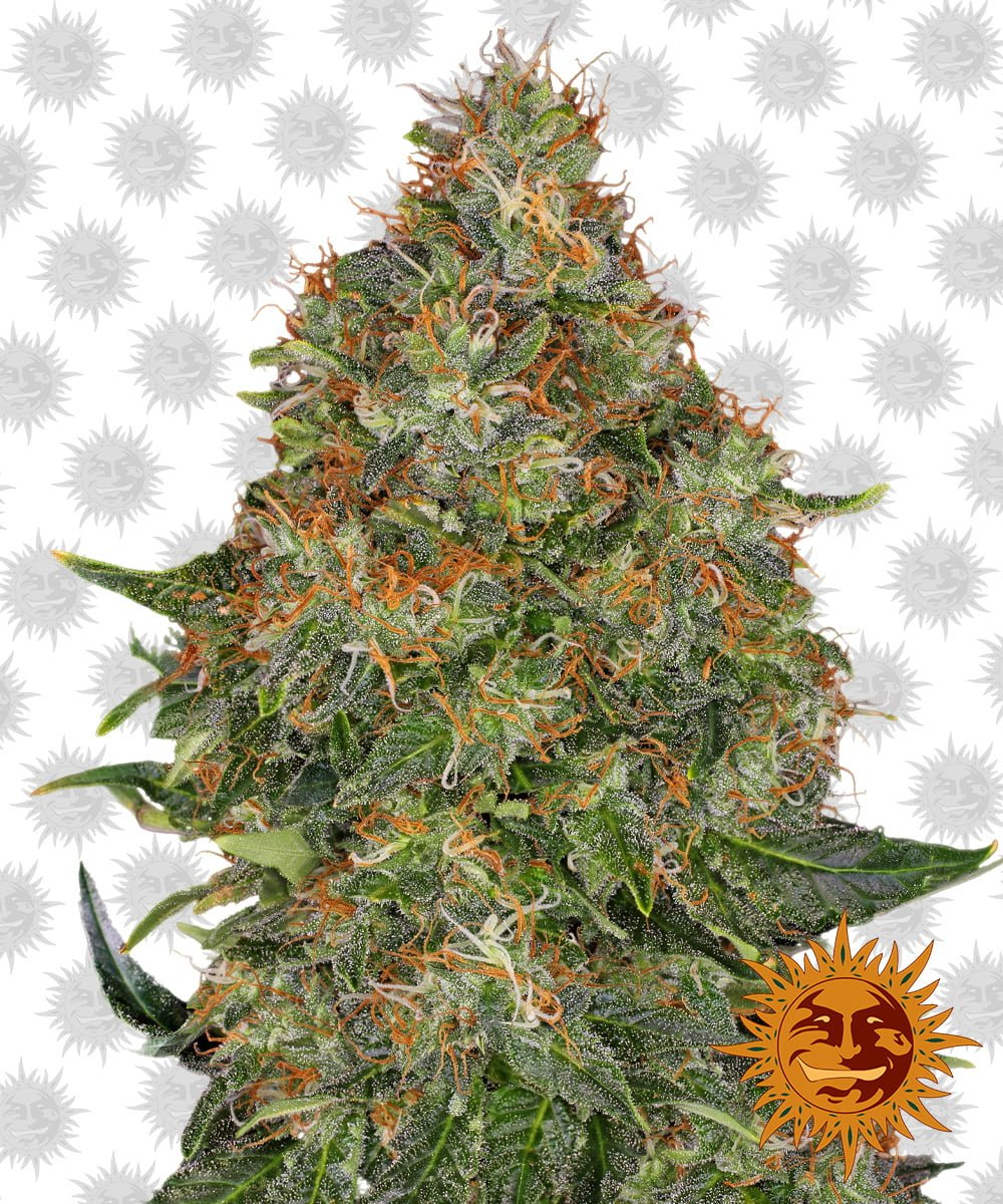 Barney's Farm Pineapple Express Auto (5 seeds pack)