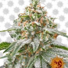 Barney's Farm Pink Kush (5 seeds pack)