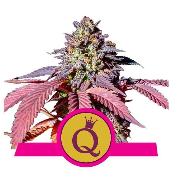 Royal Queen Seeds Purple Queen feminized cannabis seeds (3 seeds pack)