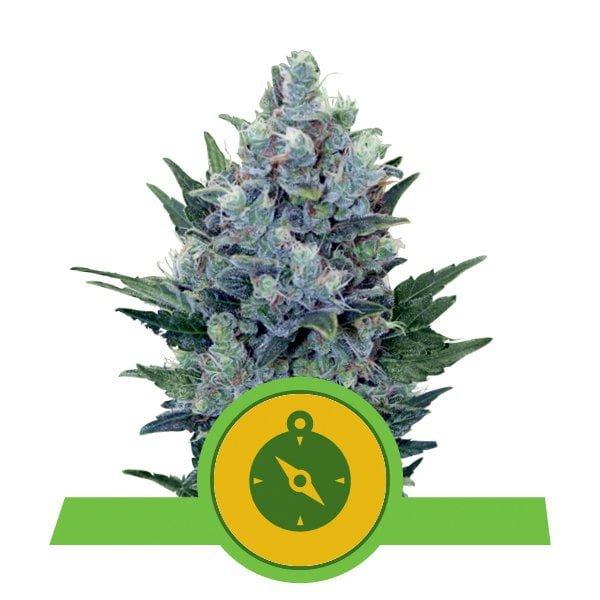 Royal Queen Seeds Northern Light Auto autoflowering cannabis seeds (5 seeds pack)