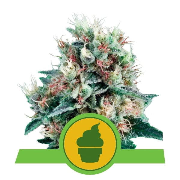 Royal Queen Seeds Royal Creamatic autoflowering cannabis seeds (3 seeds pack)