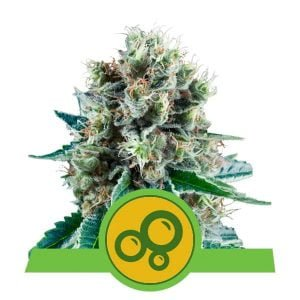 Royal Queen Seeds Bubblekush Auto autoflowering cannabis seeds (3 seeds pack)