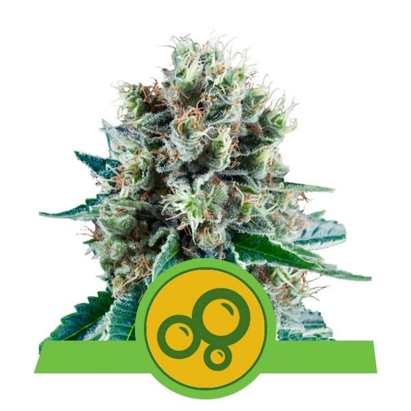 Royal Queen Seeds Bubblekush Auto autoflowering cannabis seeds (3 seeds pack)