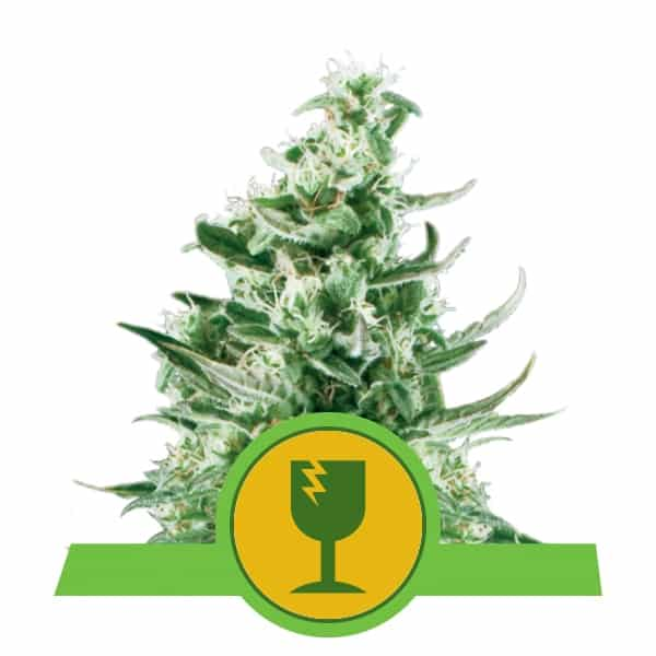 Royal Queen Seeds Royal Critical Auto autoflowering cannabis seeds (3 seeds pack)