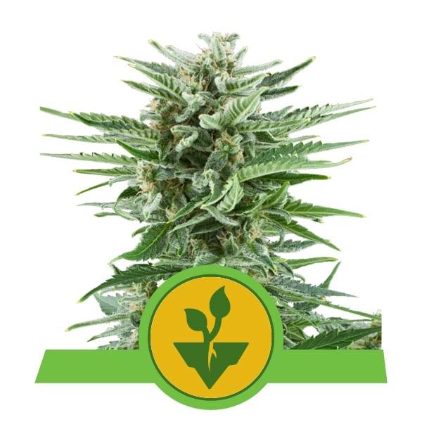 Royal Queen Seeds Easy Bud autoflowering cannabis seeds (3 seeds pack)