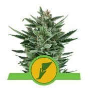 Royal Queen Seeds Quick One autoflowering cannabis seeds (5 seeds pack)