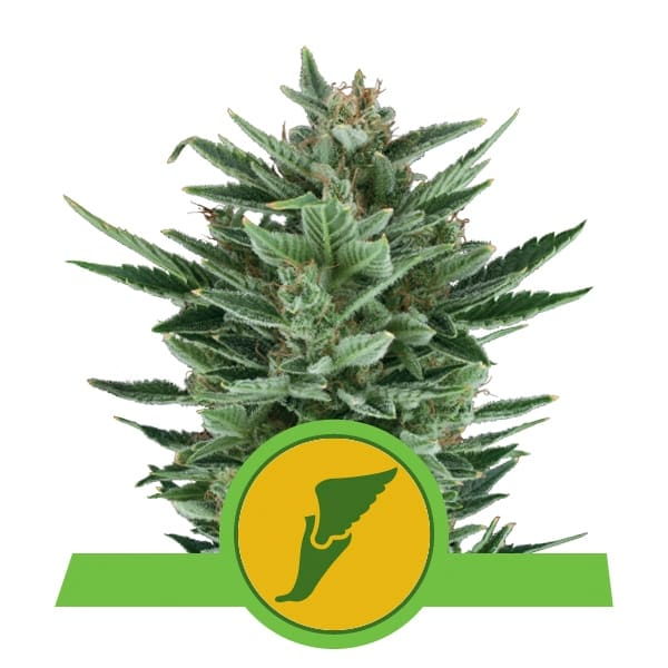 Royal Queen Seeds Quick One autoflowering cannabis seeds (3 seeds pack)