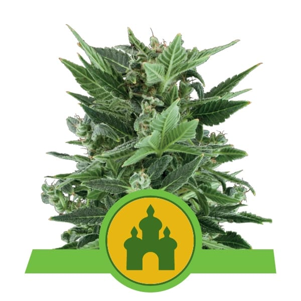 Royal Queen Seeds Royal Kush Auto autoflowering cannabis seeds (5 seeds pack)