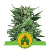 Royal Queen Seeds Royal Kush Auto autoflowering cannabis seeds (3 seeds pack)