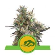 Royal Queen Seeds Royal Bluematic autoflowering cannabis seeds (3 seeds pack)